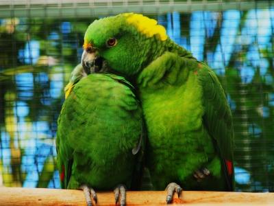 Papageien (Sozialverhalten)