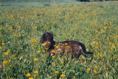 Dackel im Löwenzahn