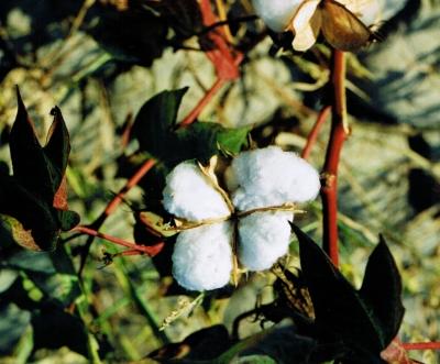 Baumwolle aus der Türkei