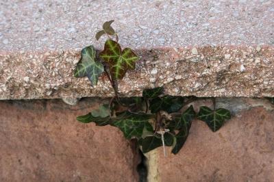 Efeu an der Mauer