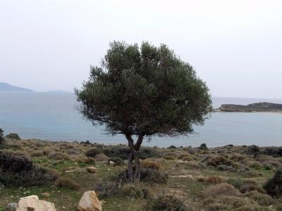 wilder Olivenbaum - direkt am Meer