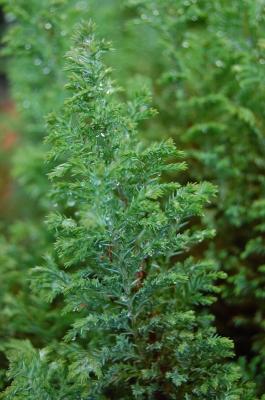 erfrischter Lebensbaum nach dem Regenschauer