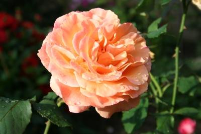 Morgentau auf Rose