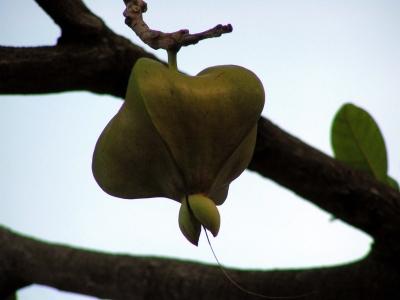 Barringtonia asiatica 1