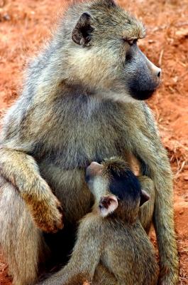 Pavian mit Kind