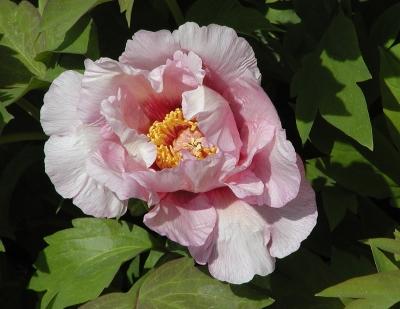 Pfingstrosenblüte, violettrosa (wie suffructicosa)