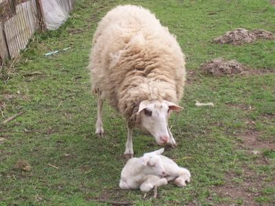 Schafmutter in Aufpass-Stellung