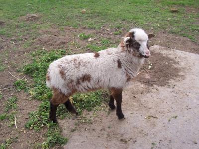 Lama oder Schaf?