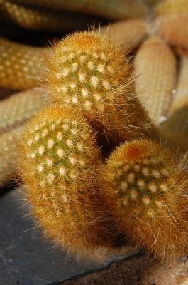 Weberbauerocereus winterianus