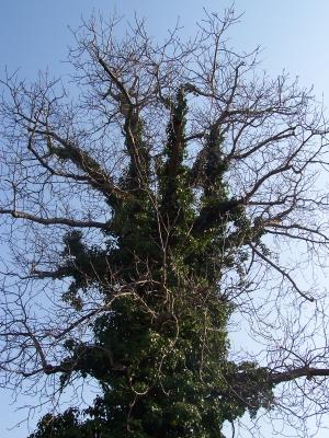 Walnussbaum mit Efeu