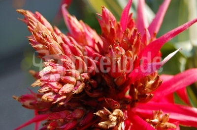 Bromeliaceae in rot #4