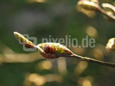 Kleine Dinger 1 -- Ladybird 1