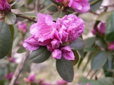 Zwergrhododendron