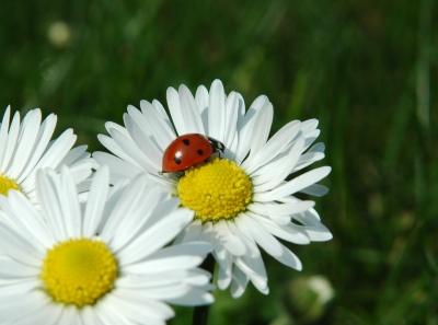 Marienkäfer beim Sonnenbaden