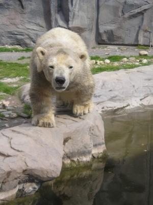 Kleiner Eisbär im Zoom Erlebniswelt Alaska , Gelsenkirchen