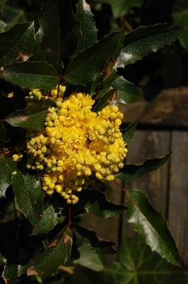 leuchtend gelbe Mahonia