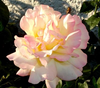 Blühende Rose
