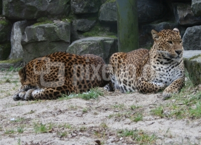 Diese Leoparden