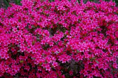 pinkes Blütenmeer der Azalee