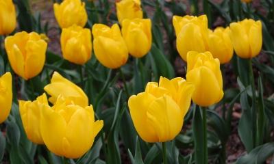 Tulpenimpression in gelb