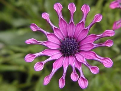 Osteospermum 'Mirach'