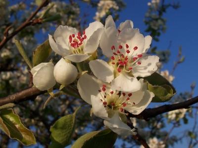 Uraltapfelbaumblüte