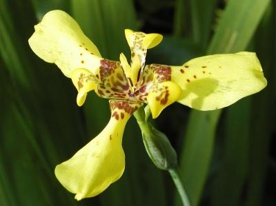 Iris Trimezia sincorana