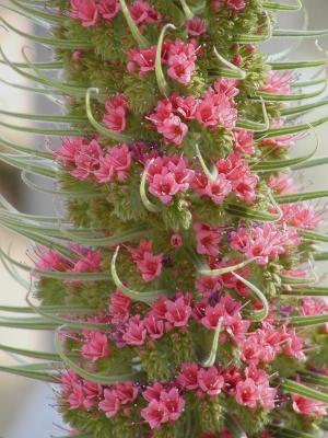 Echium wildbretii (Boraginaceae)