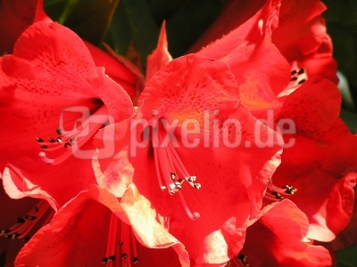 leuchtend rote Rhododendronblüte