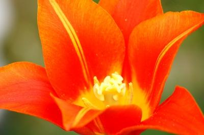 Tulpenblüte Makro 3