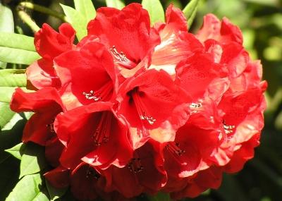 leuchtendrote Rhododendronblüte
