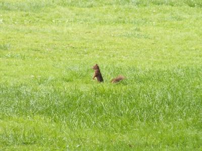 Eichhörnchen auf grüner Flur
