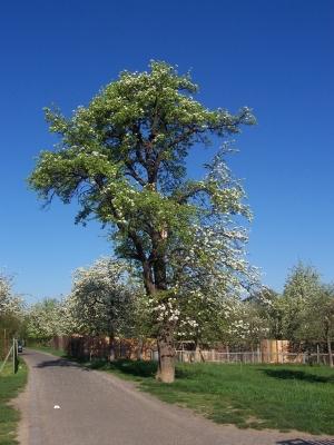Uraltbirnenbaum