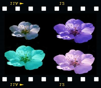Variationen einer Kirschblüte