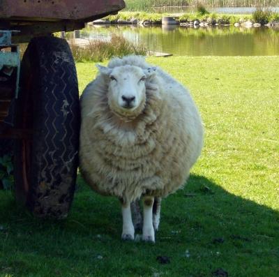 Das Schaf Otto aus Linau