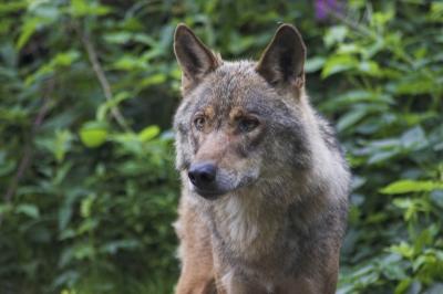 spanischer Wolf2