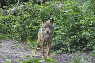 spanischer Wolf3