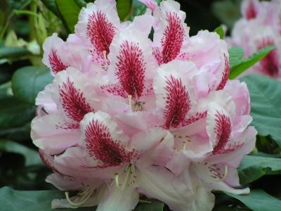 Rhododendronblüte mit leuchtend roter Zeichnung