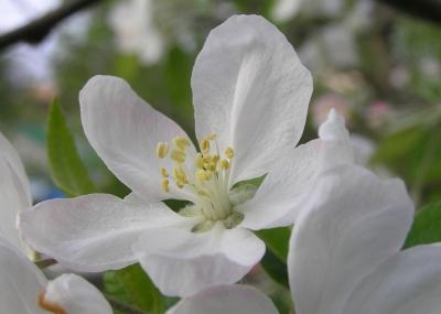 Apfelbaum-Einzelblüte, Makro