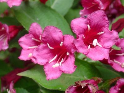 Weigelienblüte rosarot