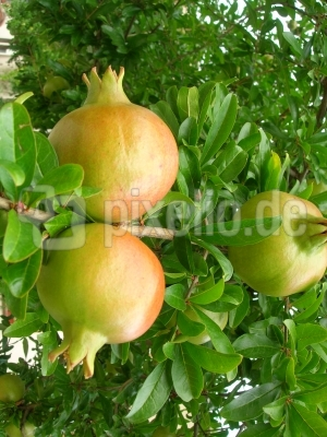 Grenadine oder Granatapfel