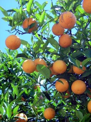 Spanische Apfelsinen...