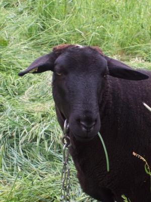 cooles schwarzes Schaf
