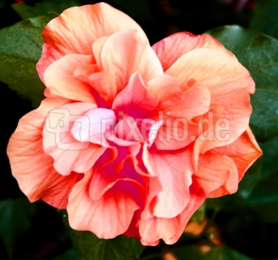 Blühwunder Hibiskus