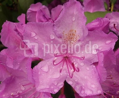 Rhododendron-Detail
