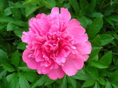noch eine rosa Pfingstrose