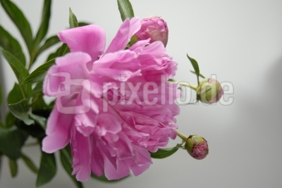 Pfingst-Rose 2