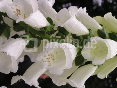 Blütenpracht im Pfingstregen