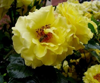 Biene in gelber Rose