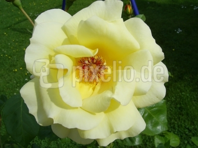 Rosenblüte 3